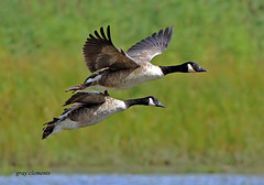 canada geese in flight (gray clements) Tags: wildlife ngc devon exeter 7d birdsinflight canadiangeese canadagoose brantacanadensis wildfowl topsham geeseinflight exeestuary specanimal bowlinggreenmarsh sigma500mmf45ex mygearandme mygearandmepremium grayclements blinksuperstars
