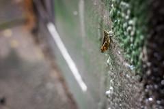 Graffiti Hopper (thillege.com) Tags: colour green netherlands amsterdam canon insect concrete graffiti dof bokeh thenetherlands depthoffield grasshopper derelict noordholland 28mm18 canonef28mm18 canoneos600d timhillege