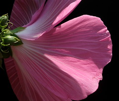 Hibiscus (Explored) (Puzzler4879) Tags: flowers macro brooklyn ngc hibiscus npc bbg brooklynbotanicgarden pointshoot canonpowershot pinkflowers score10 canondigital largeflowers canonaseries canonphotography pinkhibiscus 25faves perfectpetals canonpointshoot flickraward flickrbronzeaward a580 canona580 freeflickrflowers canonpowershota580 powershota580 100commentgroup amazingdetails naturescarousel beautifulfloras naturewithallitswonders mygearandme mygearandmepremium mygearandmebronze mygearandmesilver mygearandmegold mygearandmeplatinum mygearandmediamond level1photographyforrecreation prestigenaturecompetitionsrus niceasitgetslevel1 pinknpowerful~pinkflowers