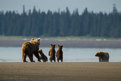 Watching out for the competition.  Coastal brown bears at Lake Clark National Park 8709 (Dr DAD (Daniel A D'Auria MD)) Tags: nature alaska wildlife bears grizzly mammals floraandfauna brownbear ursusarctos cookinlet lakeclarknationalpark coastalbrownbears august2012 danieldauriamd danieldauriacom childrenswildlifebooksbydanieldauriamd