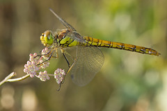 Symptrum fasci (Sympetrum striolatum) Common Darter (Sinkha63) Tags: summer france macro nature animal female dragonfly wildlife martel immature darter libellule odonata libellulidae anisoptera midipyrnes femelle commondarter sympetrum sympetrumstriolatum odonate symptrum symptrumfasci mygearandme mygearandmepremium mygearandmebronze mygearandmesilver mygearandmegold