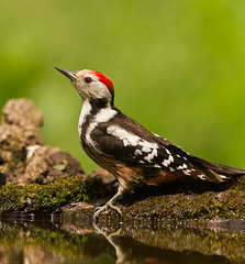 Middle Spotted Woodpecker (rosie-a-g) Tags: hungary middlespottedwoodpecker sakertour