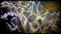 Coral (Steven Goethals) Tags: ocean sea color coral colorful