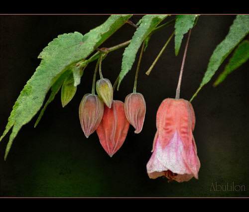 Abutilon ~ Flowering Maple