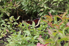 Mourning Cloak Butterfly (Nymphalis antiopa) (Gerald (Wayne) Prout) Tags: mourningcloakbutterfly nymphalisantiopa animalia arthropoda insecta lepidoptera nymphalidae nymphalis antiopa mourning cloak butterfly butterflies animal animals insect insects bugs wildlife nature westsesekinikaroad grenfelltownship sesekinika northeasternontario northernontario ontario canada prout geraldwayneprout canon canoneos60d eos 60d digital dslr camera canonlensefs18135mmf3556is lens efs18135mmf3556is photographed photography west road grenfell township northeastern northern