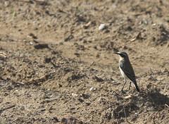 Migrante (lincerosso) Tags: birds uccelli oenantheoenanthe passeriformi culbianco piccolimigratori migrazioneautunnale
