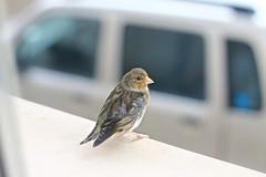 IMG_1483 (JohnC.2012) Tags: portrait rain canon eos rebel 50mm sparrow t3 18 shelter pioggia ritratto passerotto riparo 1100d