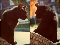 Mighty Knight © (Blackcatatheart) Tags: street autumn pet sunlight black fall sunshine cat blackcat chair domestic porch wicker household streetview