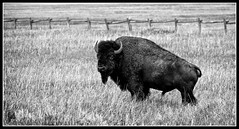 Bison B-W-3001 (kevin3030us) Tags: b bw white black male grass canon fence naked buffalo explorer w large horns explore yellowstone wyoming tetons bison jacksonhole