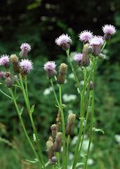 Acker-Krantzdistel_DSC_2954 (schaefer_rudolf) Tags: blte asteraceae violett unkraut wildpflanze korbbltler ackerkratzdistel ackerunkraut arvense cirsium
