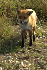 Red Fox (Zoe.IOW) Tags: nature animals wildlife fox isleofwight redfox