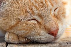 Minino (Juan Antonio Cap) Tags: pet animal cat kat feline chat pussy kitty gato felino katze mace  gatto  mascota kot gat koka kedi descanso gatito kissa kttur maka kucing pusa mo moix   kitti  minino    pisic