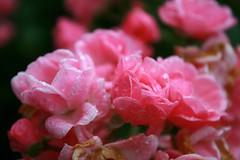 Shallow Beach Rose (Read2me) Tags: pink flower wet rain drops dof bokeh cye gamewinner thechallengefactory agcgwinner herowinner superherochallengewinner pregamewinner