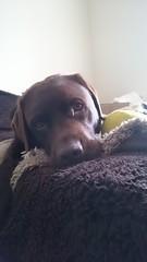 Hudson Looks Innocent (Filmstalker) Tags: hudson hudsonbrunton chocolatelabrador labrador mobile bed