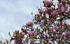 Magnolia x soulangeana (dustaway) Tags: flowers winter nature exotic nsw magnolia buds hybrid lismore streettrees magnoliaceae northernrivers magnoliaxsoulangeana