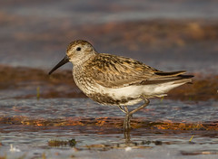 Dunlin (keith27a (catching up)) Tags: dunlin chasewater