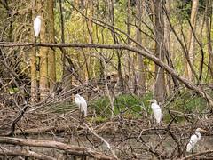 _8110044 Egrets (Charles Bonham) Tags: greategret midlandmi bird waterbird swamp wetlands trees deadtrees water brush nature white olympusomdem1 charlesbonhamphotography