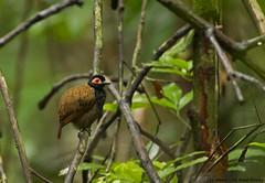 Black-spotted Bare-eye - mãe-de-taoca - Phlegopsis nigromaculata
