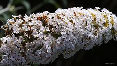 Buddleia de david (fred'eau) Tags: plante fleurs flowers jardin parc panasonic gh1