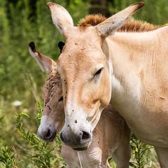 Prezwalski's wild horse #2 (billd_48) Tags: ohio summer animals captive thewilds cumberland oh usa