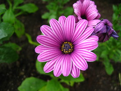three flowers like three ages (VERUSHKA4) Tags: striped album flora canon three russia europe moscow city botanic garden summer june purple blue nature vue view ville fleur