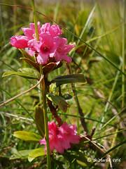 Almrausch - Alpenrose - rhododendron hirsutum