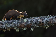 Pine marten (Mike Mckenzie8) Tags: martes british uk wild wildlife scottish scotland mammal night time flash photography nocturnal black fallen tree pine forest woodland sunset evening