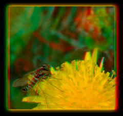 Male Ornate Snipe Fly on Dandelion 4 - Anaglyph 3D (DarkOnus) Tags: male ornate snipe fly dandelion chrysopilus ornatus weed pennsylvania buckscounty huawei mate8 cell phone 3d stereogram stereography stereo darkonus closeup macro insect anaglyph