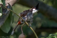 Red-whiskered Bulbul (Tom Nord) Tags: bird bulbul lacountyarboretum arboretum redwhiskeredbulbul