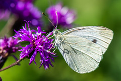 Cabbage White Butterfly (Scott Michaels) Tags: nikon d600 nikon105mmvr macro butterfly morainestatepark pennsylvania