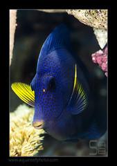 FRANxanthurum1037_160612 (kactusficus) Tags: marine reef aquarium francis surgeonfish acantturidae tang chirurgien zebrasoma xanthurum blue redsea merrouge