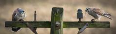 Kestrel Seesaw Double Act (Mr F1) Tags: kestrel kestrels doubleact seesaw johnfanning bop birdsofprey hunting eating post fence detail colour twins male female maleandfemaletogether falco tinnunculus