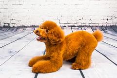 MATCHA LOW-17 (Michiez Chua Petography) Tags: poodle toypoodle singaporedog singapore redpoodle cute dog dogs canon 35mm studio studioshoot dogshoot