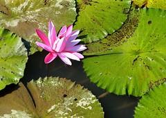 DP1U4110 (c0466art) Tags: 2016 summer season lotus field  wate rlilies cloom colorful flowers scenery landscape canon 1dx c0466art