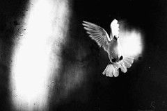 (jean_pichot1) Tags: shoot denmark frame christiangravesen motion movement feathers bw wings concrete light dark white flying flight bird dove