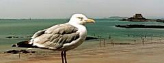 Mouette  Saint-Malo (Alexia Thirion) Tags: bretagne saintmalo britain mer sea plage beach soleil sun vacances holidays mouette seagull