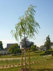 Hnge-Weide (Jrg Paul Kaspari) Tags: dudeldorf garten garden sommer summer eifel hngeweide salix tree abre baum