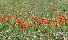 England, my England (robbie20161) Tags: flowers wildflowers nature meadow countryside poppies clover farmland