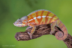 Panther Chameleon in Explore 28/8 (Linda Martin Photography) Tags: pantherchameleon dorset wildlife bournemouth nature furciferpardalis reptile canon5dmarklll uk coth ngc npc