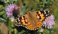 Painted Lady - 260816 (2) (Richard Collier - Wildlife and Travel Photography) Tags: insects naturalhistory wildlife macro butterflies paintedladyvanessacardui british