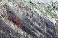 scorched earth (john dusseault) Tags: trees fire forestfire mountain slope canada alberta jasper national park