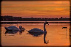 swans in sunset (LB-fotos) Tags: duck ente ostholstein schleswigholstein see sonnenuntergang chinon lake schwan sunset swan scharbeutz deutschland de