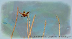 Halloween pennant dragon (NancySmith133) Tags: halloweenpennant lakeapopkanorthshorewildlifedrive centralfloridausa orangecountyfl