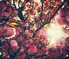Remembering Spring (Jon-Fū, the写真machine) Tags: jonfu 2016 olympus omd em5markii em5ii em5mkii em5mk2 em5mark2 オリンパス mirrorless mirrorlesscamera microfourthirds micro43 m43 mft μft マイクロフォーサーズ ミラーレスカメラ ミラーレス一眼カメラ ミラーレス機 snapseed japan 日本 nihon nippon ジャパン ジパング japón जापान japão xapón asia アジア asian fareast orient oriental aichi 愛知 愛知県 chubu chuubu 中部 中部地方 nagoya 名古屋 outdoors 野外 nature 自然 flower flowers 花 華 plant plants 植物 flora sakura cherryblossoms cherryblossom さくら 桜 hanami 花見 tree trees 木 木々