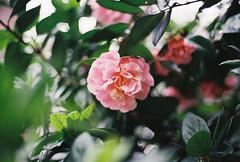 Pretty in pink (Katie Tarpey) Tags: flower pink nature pretty plant depthoffield film 35mm kodak kodakgold400 nikonfm10 nikkor50mm14 winter melbourne fitzroygardens