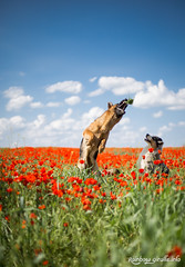 IMG_0644 (giraffes_fly) Tags: poppies inpoppies dogphotography doginpoppies poppyfield poppylover dogtricks summer redpoppies