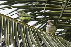 Myiopsitta monachus (Luiz Baroni Junior) Tags: 2016 ano aves caturitamyiopsittamonachus cidade estado fotgrafo lugares luizbaronijunior pistacludiocoutinho riodejaneiro urca brasil