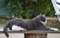rosy (ELENA TABASSO) Tags: gatto gatti cat cats animali aninals animale animal