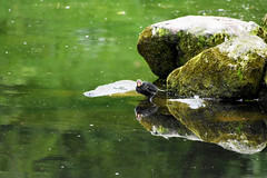 Coot (Glenn Pye) Tags: coot birds bird wildlife nature nikon d7200 nikond7200