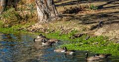 Geese in the afternoon sun (randyherring) Tags: recreational nature waterfowl aquaticbird outdoor lake california vasonalakecountypark ca losgatos afternoon bird park canadagoose goose santaclaracountyparks brantacanadensis unitedstates us